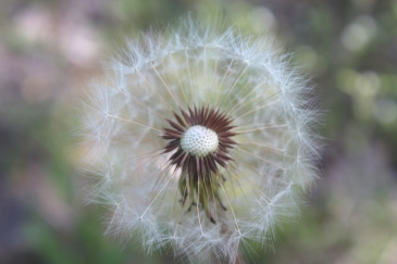 a dandelion flower and seeds